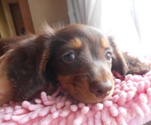 ミニチュアダックスフンド(ロング)の子犬(ID:1238911176)の3枚目の写真/更新日:2018-06-17