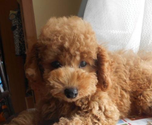 トイプードルの子犬(ID:1238911177)の1枚目の写真/更新日:2018-06-23