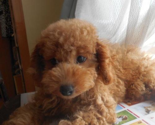 トイプードルの子犬(ID:1238911177)の2枚目の写真/更新日:2018-08-05