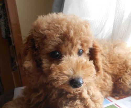 トイプードルの子犬(ID:1238911177)の3枚目の写真/更新日:2018-06-23