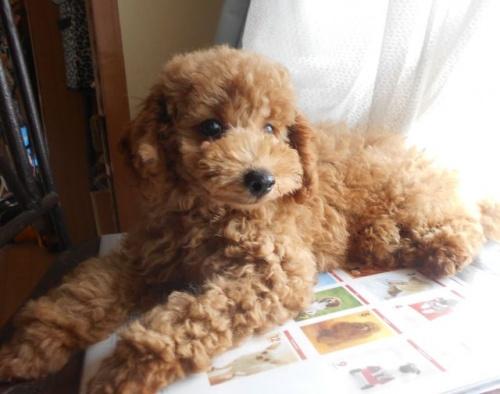 トイプードルの子犬(ID:1238911177)の4枚目の写真/更新日:2018-06-23