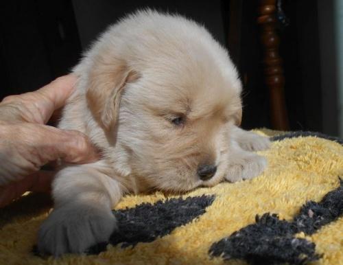 ゴールデンレトリバーの子犬(ID:1238911179)の2枚目の写真/更新日:2019-01-20