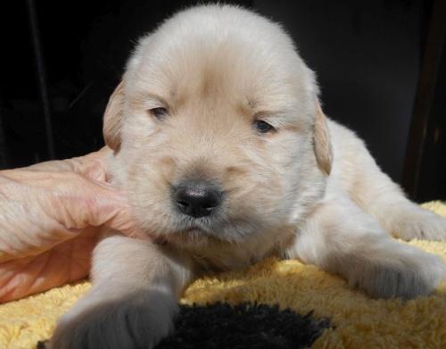 ゴールデンレトリバーの子犬(ID:1238911179)の3枚目の写真/更新日:2019-01-20