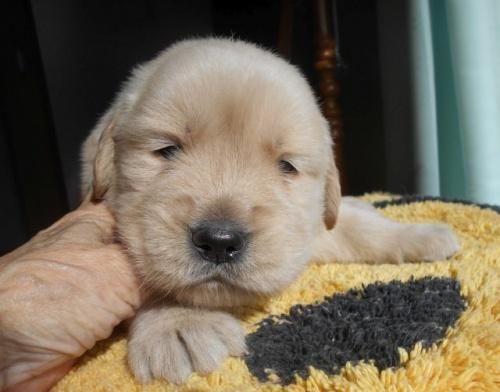 ゴールデンレトリバーの子犬(ID:1238911179)の4枚目の写真/更新日:2019-01-20