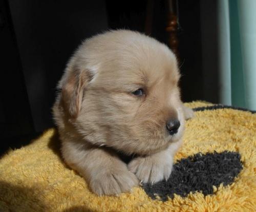 ゴールデンレトリバーの子犬(ID:1238911179)の5枚目の写真/更新日:2019-01-20