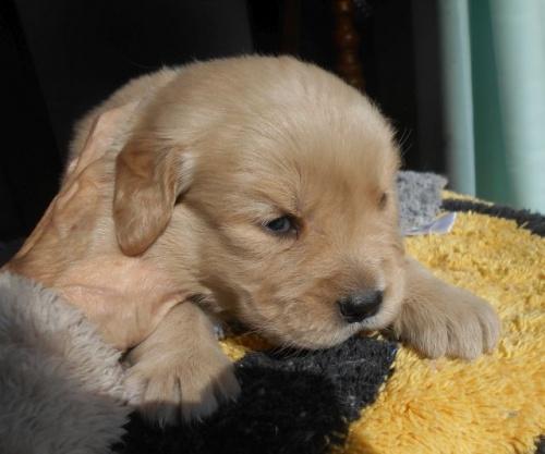 ゴールデンレトリバーの子犬(ID:1238911180)の1枚目の写真/更新日:2019-01-20