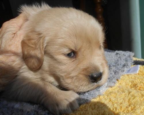 ゴールデンレトリバーの子犬(ID:1238911180)の2枚目の写真/更新日:2019-01-20