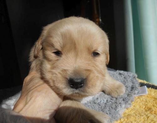 ゴールデンレトリバーの子犬(ID:1238911180)の3枚目の写真/更新日:2019-01-20