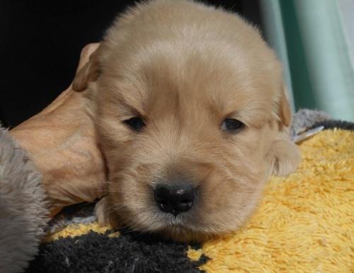ゴールデンレトリバーの子犬(ID:1238911180)の5枚目の写真/更新日:2019-01-20