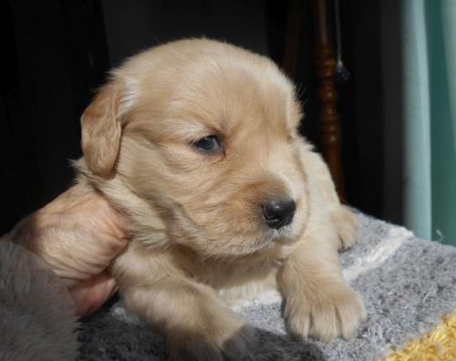 ゴールデンレトリバーの子犬(ID:1238911180)の6枚目の写真/更新日:2019-01-20