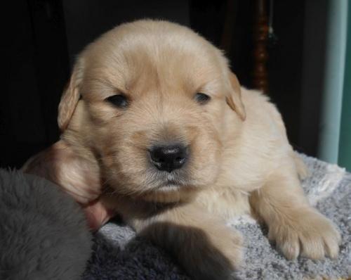 ゴールデンレトリバーの子犬(ID:1238911180)の7枚目の写真/更新日:2019-01-20