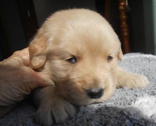 ゴールデンレトリバーの子犬(ID:1238911181)の5枚目の写真/更新日:2019-01-20