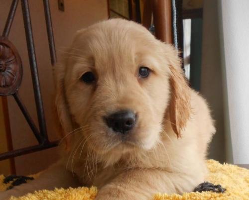 ゴールデンレトリバーの子犬(ID:1238911182)の2枚目の写真/更新日:2019-02-19