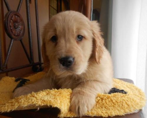 ゴールデンレトリバーの子犬(ID:1238911182)の3枚目の写真/更新日:2019-02-19