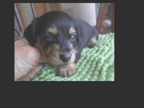 カニンヘンダックスフンド(ロング)の子犬(ID:1238911183)の1枚目の写真/更新日:2019-07-07