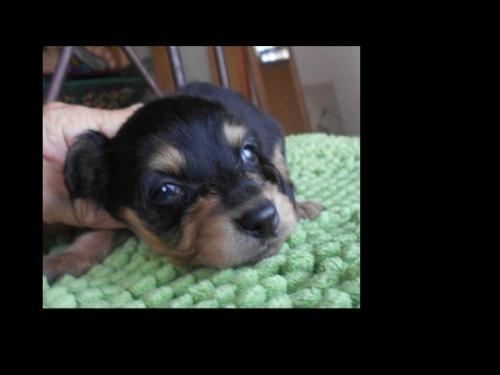 カニンヘンダックスフンド(ロング)の子犬(ID:1238911183)の9枚目の写真/更新日:2019-07-07