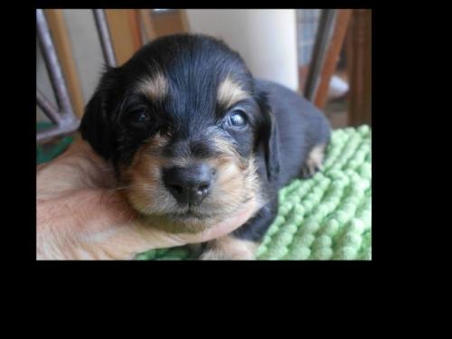 カニンヘンダックスフンド(ロング)の子犬(ID:1238911183)の3枚目の写真/更新日:2019-07-07