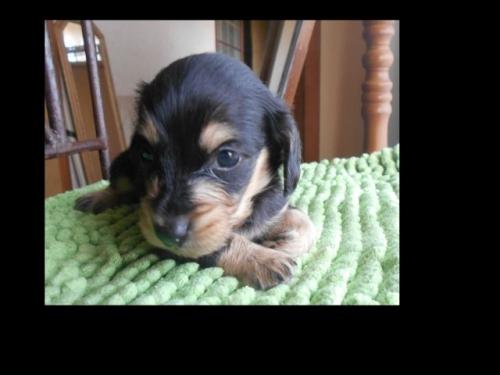 カニンヘンダックスフンド(ロング)の子犬(ID:1238911183)の4枚目の写真/更新日:2019-07-07