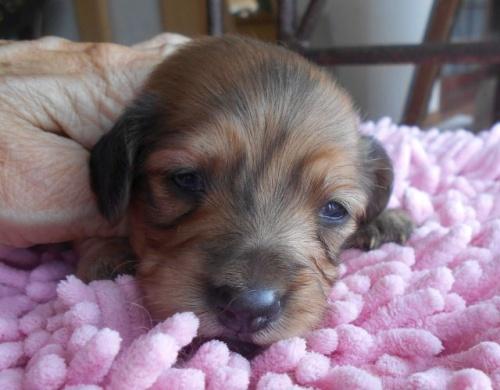 カニンヘンダックスフンド(ロング)の子犬(ID:1238911185)の3枚目の写真/更新日:2019-06-25