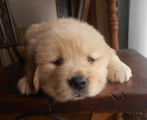 ゴールデンレトリバーの子犬(ID:1238911186)の1枚目の写真/更新日:2019-07-21