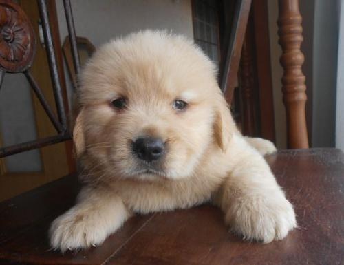 ゴールデンレトリバーの子犬(ID:1238911186)の2枚目の写真/更新日:2019-07-21
