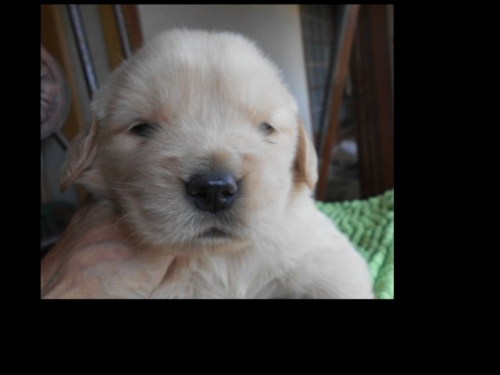 ゴールデンレトリバーの子犬(ID:1238911187)の1枚目の写真/更新日:2019-07-07