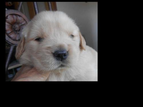 ゴールデンレトリバーの子犬(ID:1238911187)の4枚目の写真/更新日:2019-07-07