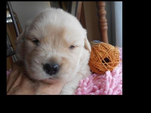 ゴールデンレトリバーの子犬(ID:1238911188)の1枚目の写真/更新日:2019-07-07