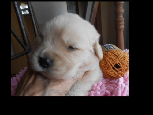 ゴールデンレトリバーの子犬(ID:1238911188)の2枚目の写真/更新日:2019-07-07