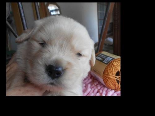 ゴールデンレトリバーの子犬(ID:1238911188)の3枚目の写真/更新日:2019-07-07