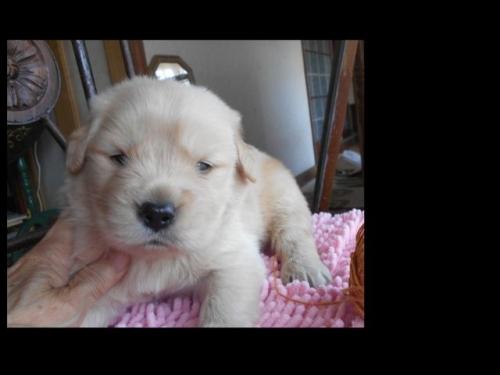 ゴールデンレトリバーの子犬(ID:1238911188)の5枚目の写真/更新日:2019-07-07