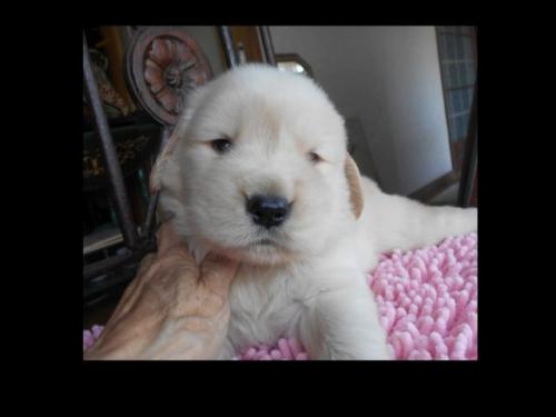 ゴールデンレトリバーの子犬(ID:1238911189)の3枚目の写真/更新日:2019-07-21