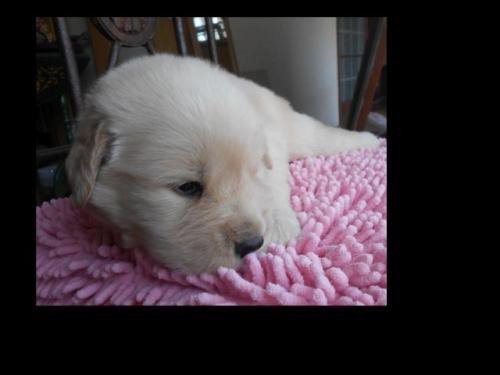 ゴールデンレトリバーの子犬(ID:1238911189)の4枚目の写真/更新日:2019-07-21