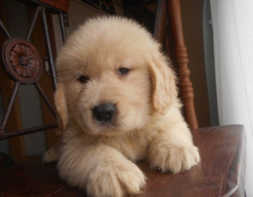 ゴールデンレトリバーの子犬(ID:1238911190)の2枚目の写真/更新日:2019-07-21
