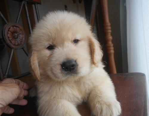 ゴールデンレトリバーの子犬(ID:1238911190)の3枚目の写真/更新日:2019-07-21