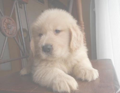 ゴールデンレトリバーの子犬(ID:1238911190)の6枚目の写真/更新日:2019-07-21