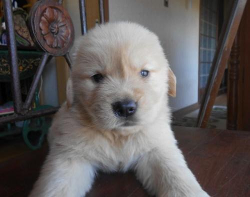 ゴールデンレトリバーの子犬(ID:1238911191)の4枚目の写真/更新日:2019-07-15
