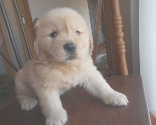 ゴールデンレトリバーの子犬(ID:1238911191)の6枚目の写真/更新日:2019-07-15