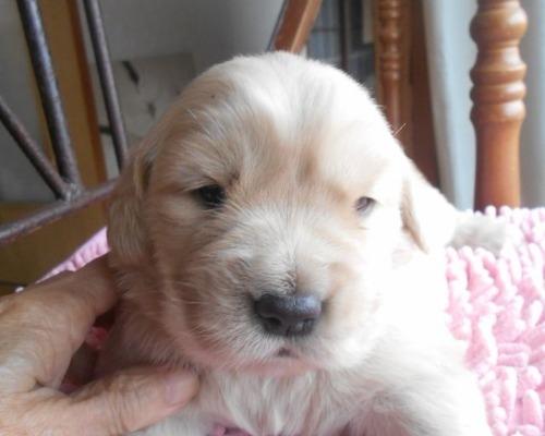 ゴールデンレトリバーの子犬(ID:1238911197)の4枚目の写真/更新日:2019-12-29