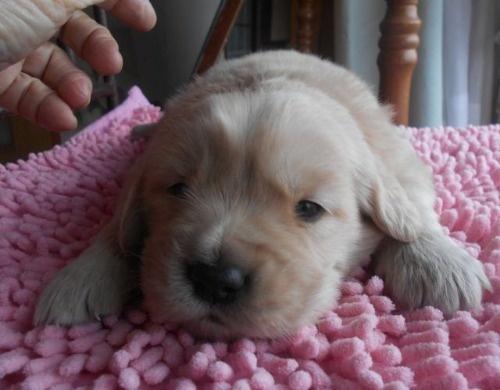 ゴールデンレトリバーの子犬(ID:1238911197)の6枚目の写真/更新日:2019-12-29