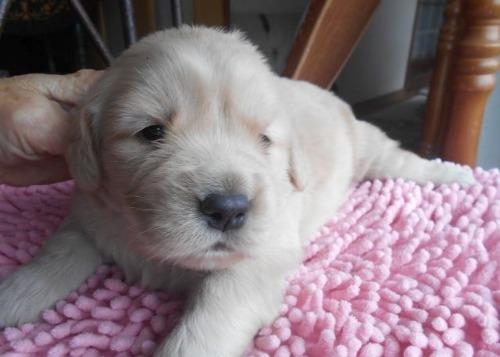 ゴールデンレトリバーの子犬(ID:1238911197)の7枚目の写真/更新日:2019-12-29
