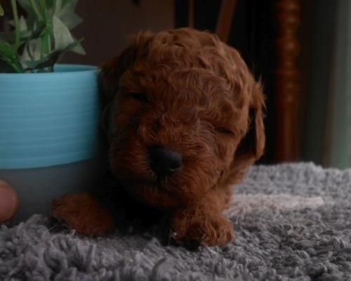 トイプードルの子犬(ID:1238911198)の1枚目の写真/更新日:2020-10-07