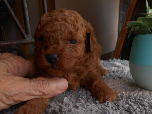 トイプードルの子犬(ID:1238911198)の2枚目の写真/更新日:2020-10-07