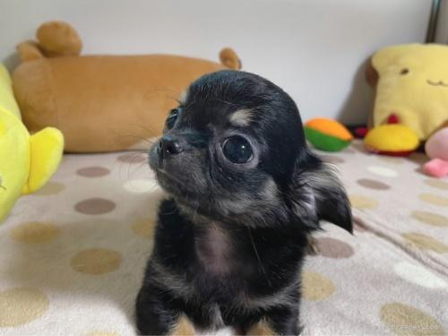 チワワ(ロング)の子犬(ID:1239111087)の2枚目の写真/更新日:2020-09-30