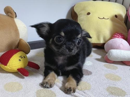 チワワ(ロング)の子犬(ID:1239111087)の4枚目の写真/更新日:2020-09-30
