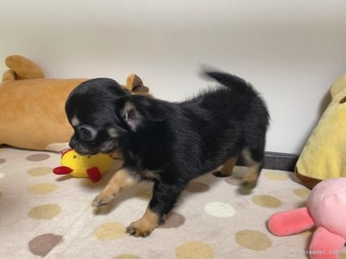 チワワ(ロング)の子犬(ID:1239111087)の5枚目の写真/更新日:2020-09-30