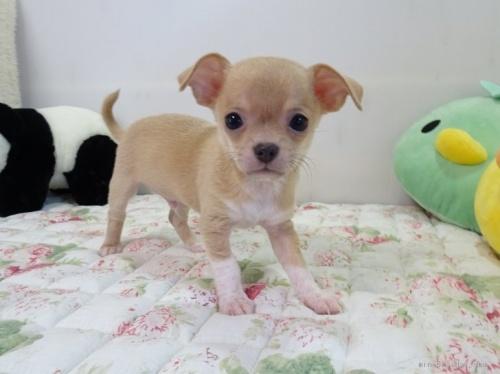 チワワ(スムース)の子犬(ID:1239111088)の1枚目の写真/更新日:2020-07-13