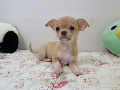 チワワ(スムース)の子犬(ID:1239111088)の2枚目の写真/更新日:2020-07-13
