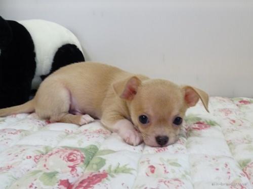 チワワ(スムース)の子犬(ID:1239111088)の3枚目の写真/更新日:2020-07-13