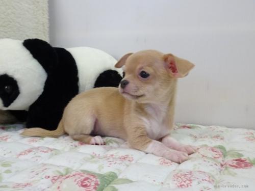チワワ(スムース)の子犬(ID:1239111088)の4枚目の写真/更新日:2020-07-13